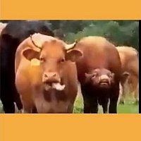 2+1 Jam band – Stádo plemenných býků